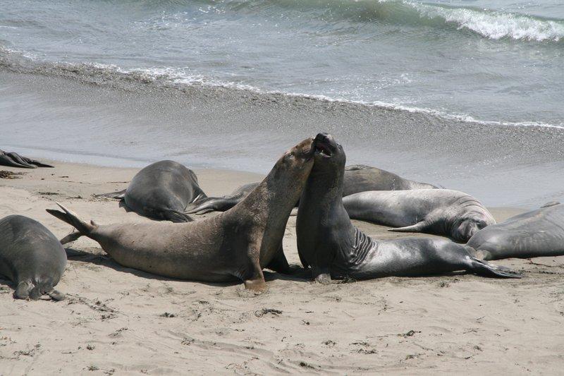 Sea Elefants California