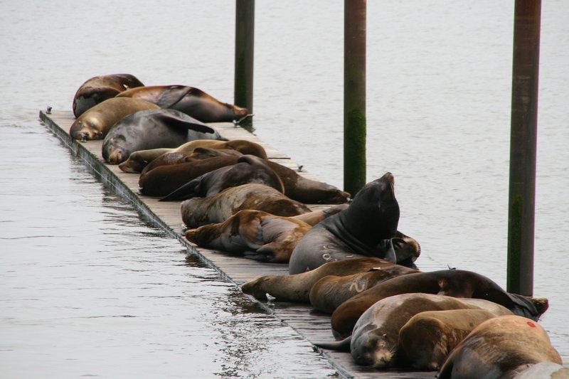 sea lions in Astoria oregon